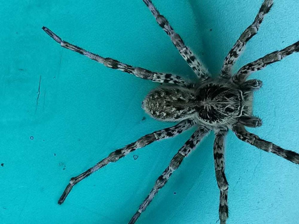 «Вчера у себя дома поймала это чудовище», - камышанка о членистоногом экземпляре