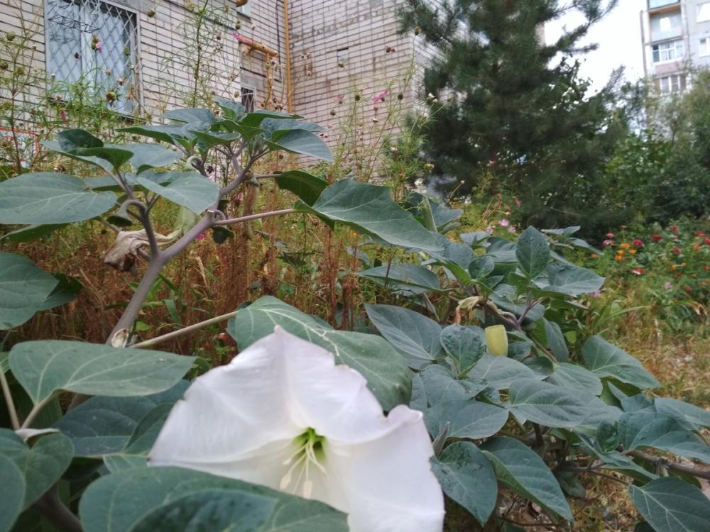 В Камышине раскрыл опасные белые цветы-граммофоны ядовитый дурман