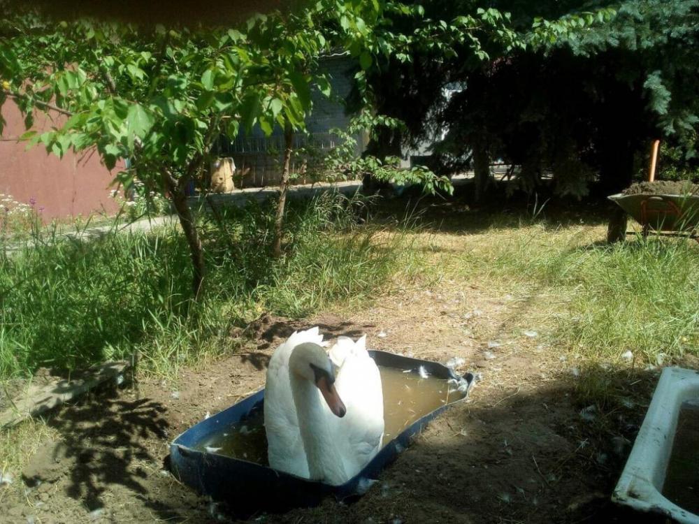 Лебедей в парке Камышина мучают в поддонах с горячей водой, - «Блокнот Волгограда»