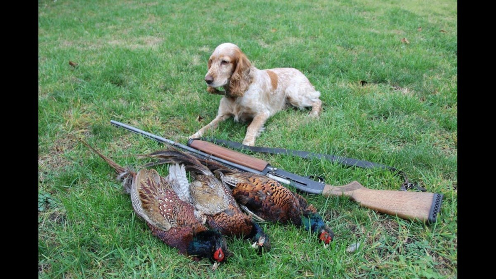В Волгоградской области охоту на фазана можно считать открытой