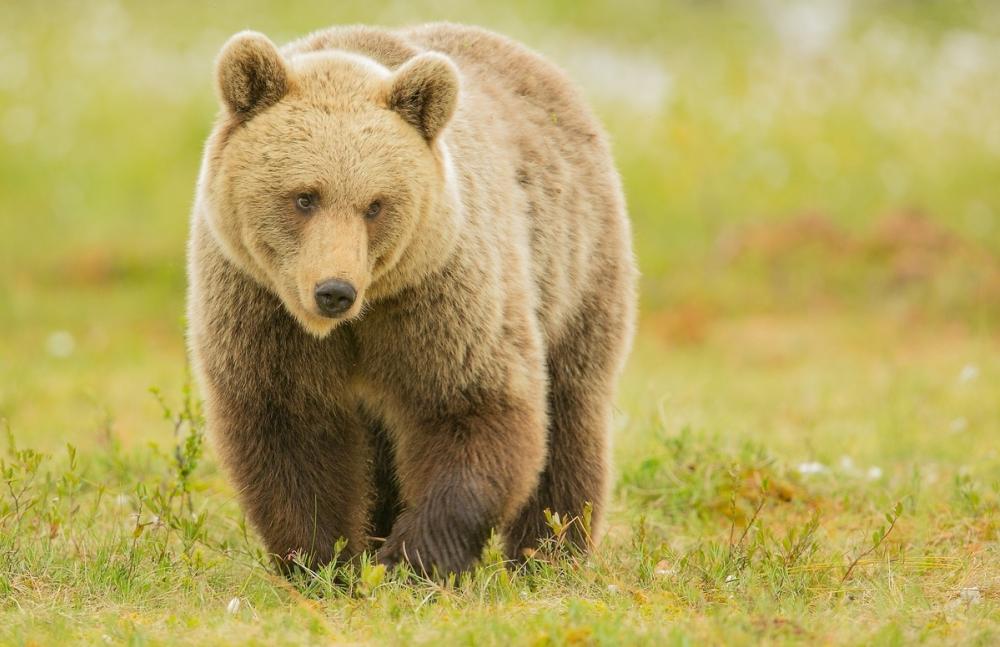 Медведица, сбежавшая от егеря, «взяла в заложники» целое село