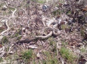 В Волжском змеи уже вовсю резвятся, а в Камышине только просыпаются