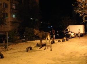 Камышане сняли на камеру молодого лося, который гуляет по пятому микрорайону и третьему городку