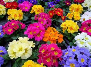 Камышане-эстеты отправляются в региональный ботанический сад на свидание... к примулам