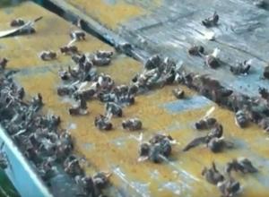 Трупы пчел и отчаяние пчеловодов стали последствием обработки полей в Волгоградской области
