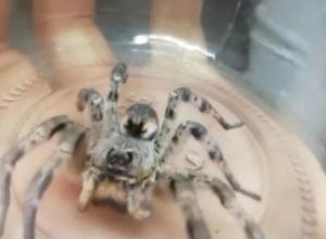 Петербуржец купил у жителя Волгоградской области паука-каракурта за полторы тысячи рублей