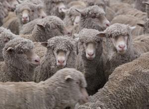 Больше тонны грязной овечьи шерсти пытались провезти в Волгоградскую область