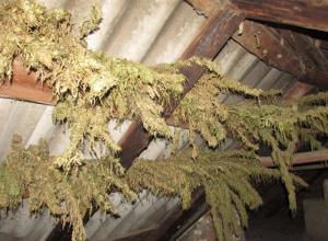 В Камышинском районе у 34-летнего жителя села на чердаке обнаружили коноплю