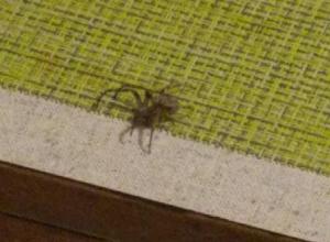 Пользователи соцсетей «опознали» в убитом камышанкой пауке степного крестовика, которого можно было бы и оставить жить