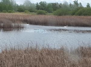 Камышане выложили в соцсетях фото грациозных лебедей, поселившихся недалеко от Камышина - под Жирновском