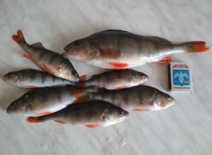 К рыбакам на Камышинку приплыли клевать приличные окуни