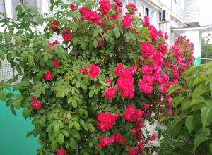 Жители Камышина разводят великолепные розарии у типовых пятиэтажек