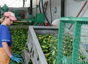 На засолочной базе в Торповке под Камышином специалисты по хрустящим огурцам приступили к приготовлению русской «закуски номер один»
