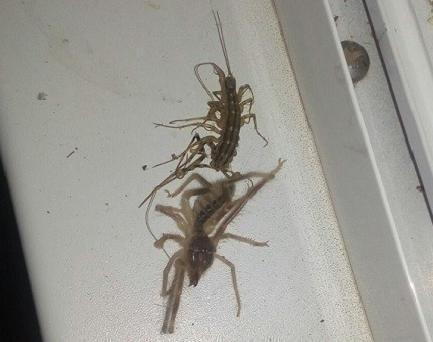 В соцсетях житель Волгоградской области выложил приконченных им пауков, «породу» которых он теперь пытается выяснить