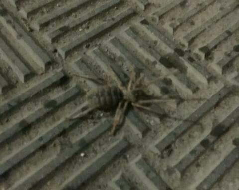 Волжанин во второй раз за июль встретил гигантского «зубастого» паука-сольпугу, «страшилища» появляются и в Камышине