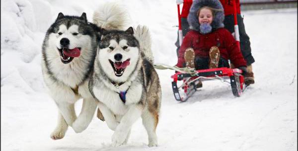 Камышане пока осторожно отнеслись к предложению кататься на Масленницу на собаках