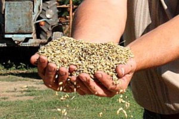 Зерновой рынок озвучил обнадеживающие цены на продукцию камышинских сельхозтоваропроизводителей