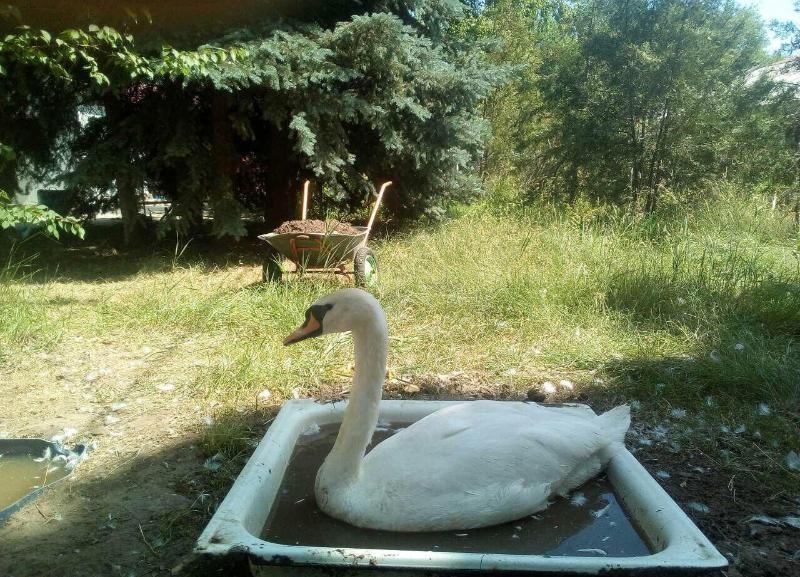 Администрация Камышина клянется переселить несчастных лебедей из поддонов с горячей водой в озеро - правда, неизвестно когда