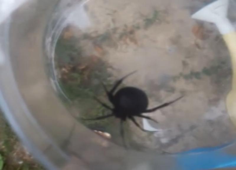 Ядовитые пауки «черные вдовы» и не думают выселяться из Волгоградской области