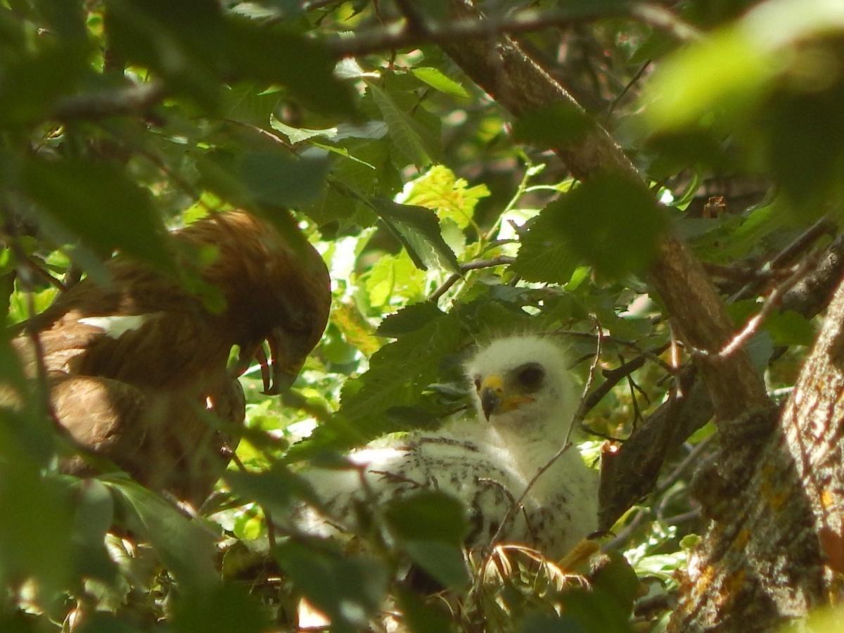 Краснокнижный орел-карлик вновь замечен в Камышинском природном парке «Щербаковский»
