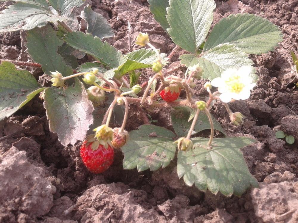 В Камышине созрел второй  урожай клубники